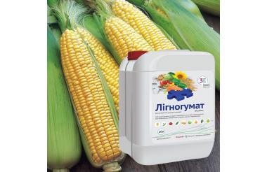 Технология применения Лигногумата на кукурузе