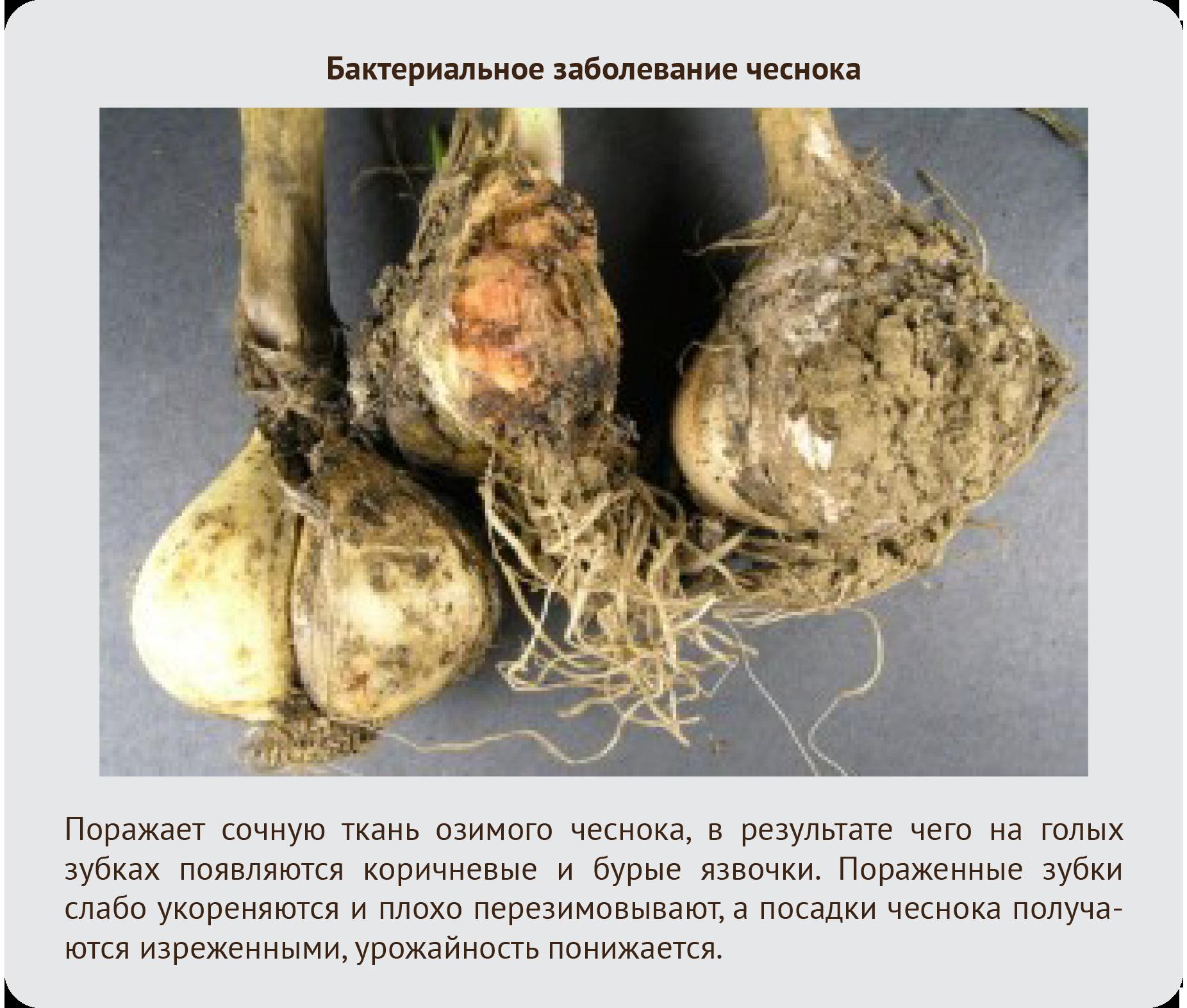 Бактериальное заболевание чеснока фото